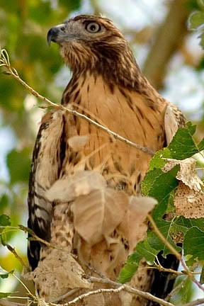 A red-tailed hawk photographed at the Verde Valley Birding & Nature Festival, held at Dead Horse Ranch the last weekend every April. (Source: Arizona State Parks)