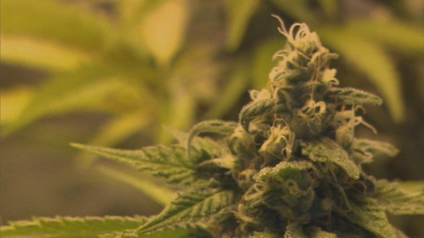 As Arizona voters consider whether to legalize recreational marijuana this fall, there are new questions about the state's medical marijuana system.  (Source: 3TV)