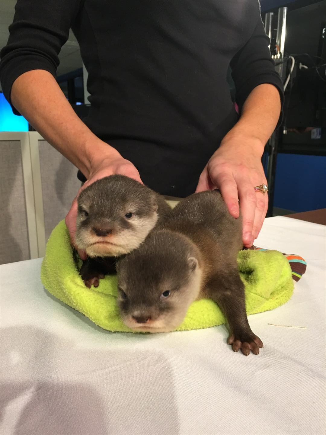 Olivia and Lily six week otters visit GMAZ