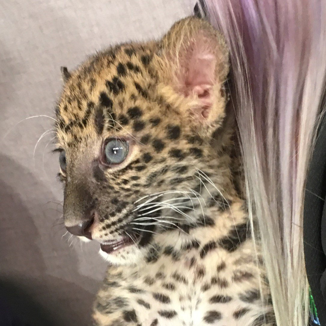 Baby Leopard visits GMAZ.