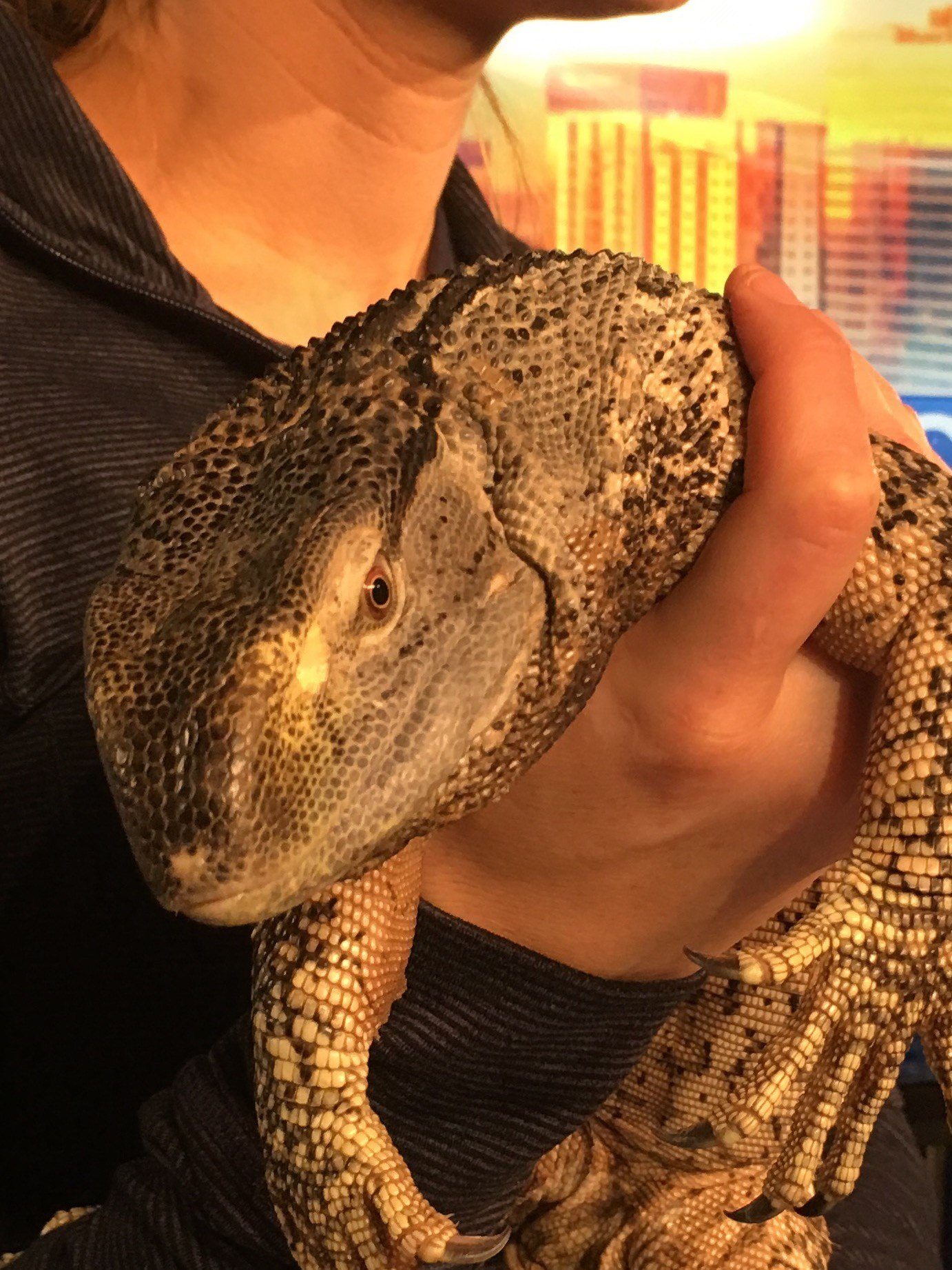 Marbles, a black throated monitor visits GMAZ