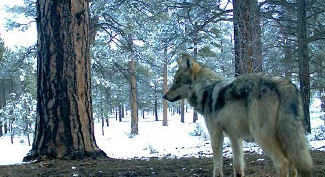 A Luna pack wolf in the winter of 2011 (Source: Mexican Wolf Interagency Field Team)