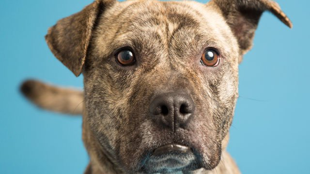 That face! Those eyes! This is Darby. (Source: Arizona Humane Society)