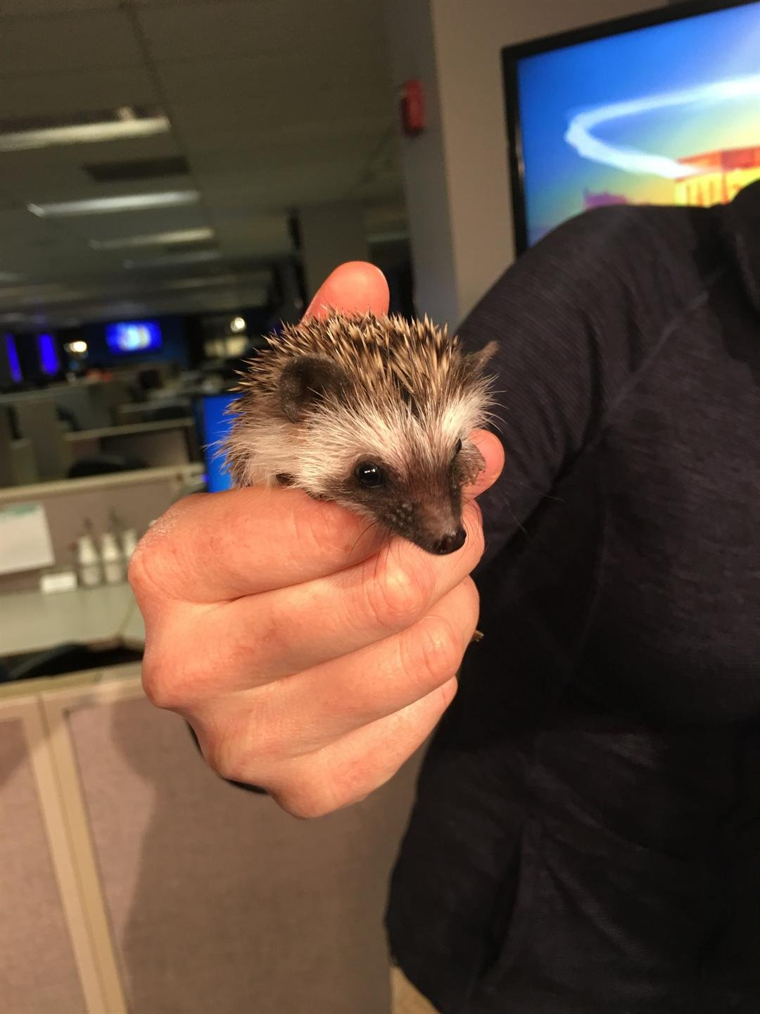 """Princess Poppy,"" an African Pygmy Hedgehog visits GMAZ."