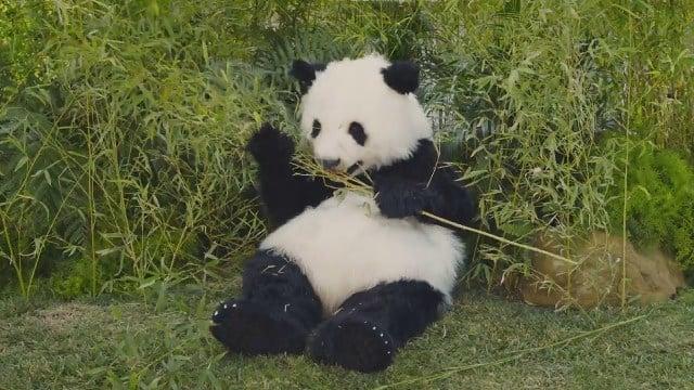 Panda-monium (Source: GoDaddy via YouTube)