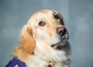 MCAO K9 Victim Support Dog Morgan  (Source: Maricopa County Attorney's Office)