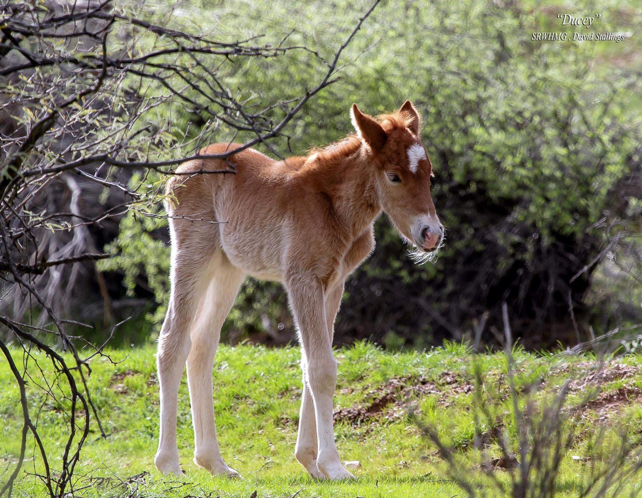 Ducey was named after Gov. Doug Ducey. (Source: Salt River Wild Horse Management Group)
