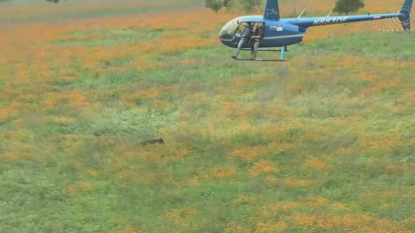 The feds plan to use an aerial attack to thin the wild pig population in northwestern Arizona. (Source: 3TV/CBS 5)
