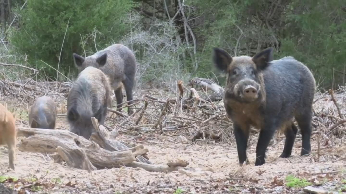 U.S. Fish and Wildlife officials are concerned that hunters could be exposed to diseases the pigs are known to carry, including E.coli, salmonella and leptospirosis. (Source: 3TV/CBS 5)