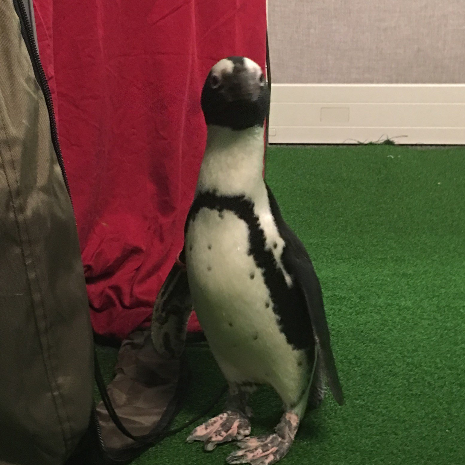 Pepper, a Black Footed Penguin visits GMAZ.