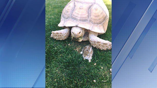 This bunny and tortoise became friends at a hotel habitat in Marana. (Source: The Ritz-Carlton)