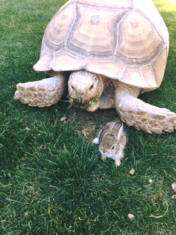 The two-week-old desert cottontail made its way into the hotel's habitat and cozied up to a giant tortoise, the hotel said. (Source: The Ritz-Carlton)