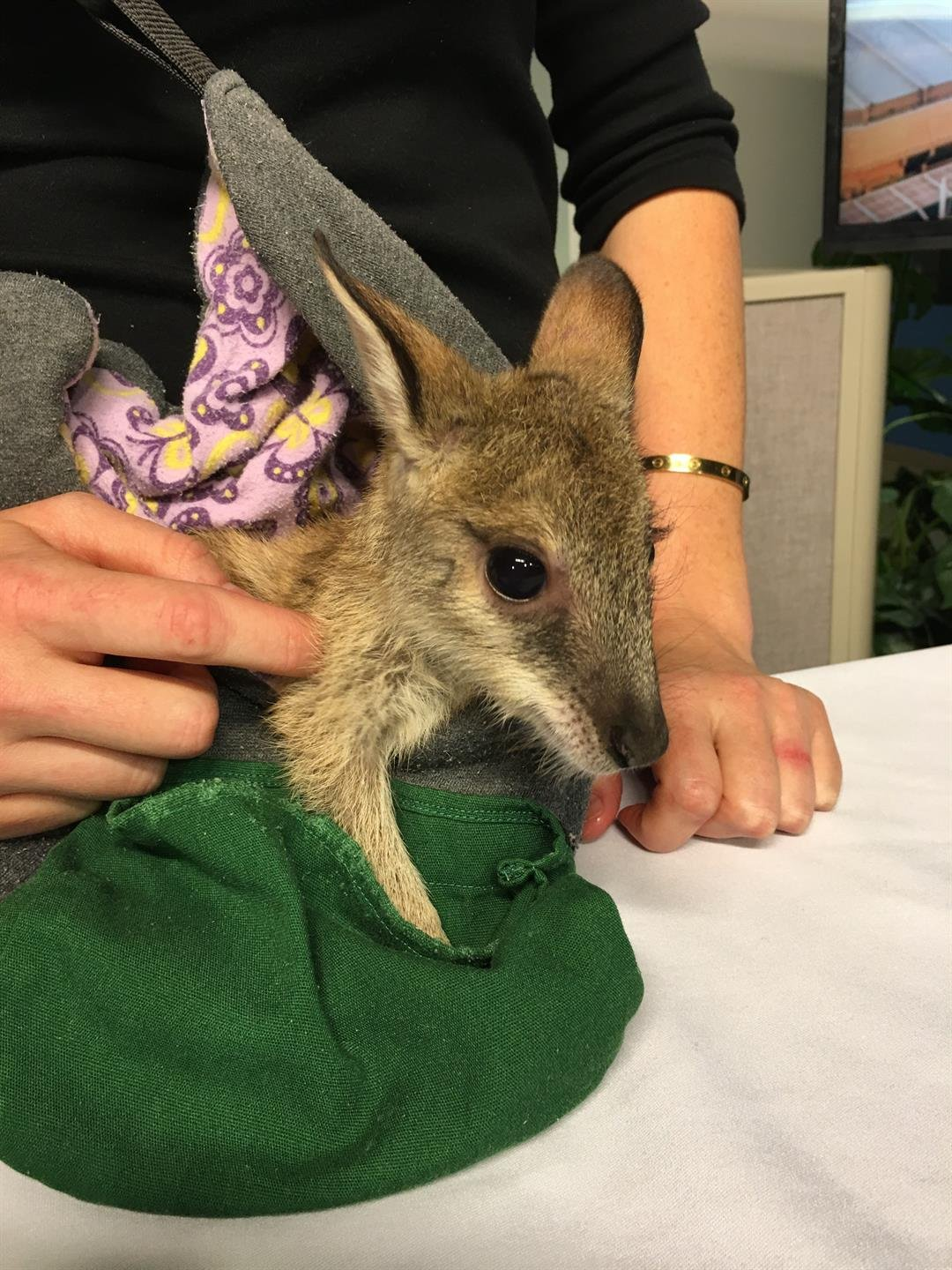 Rocco, a baby Wallaby from the Wildlife World Zoo visits GMAZ