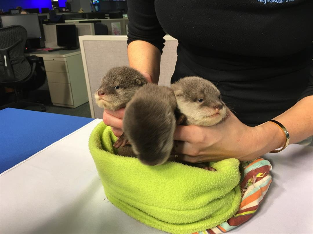 Baby Asian Small Clawed Otters visit GMAZ