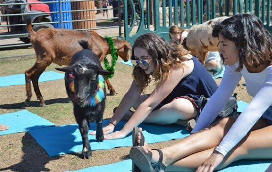 Goat yoga! (Source: The Phoenix Zoo)