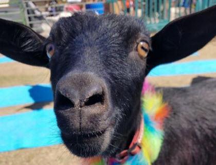 Goat yoga! (Source: The Phoenix Zoo)