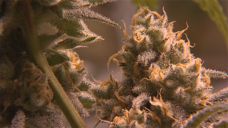 The marijuana available for testing also tops out at a potency of 13 percent THC, even though dispensaries widely offer marijuana between 20 and 30 percent. (Source: 3TV/CBS 5)