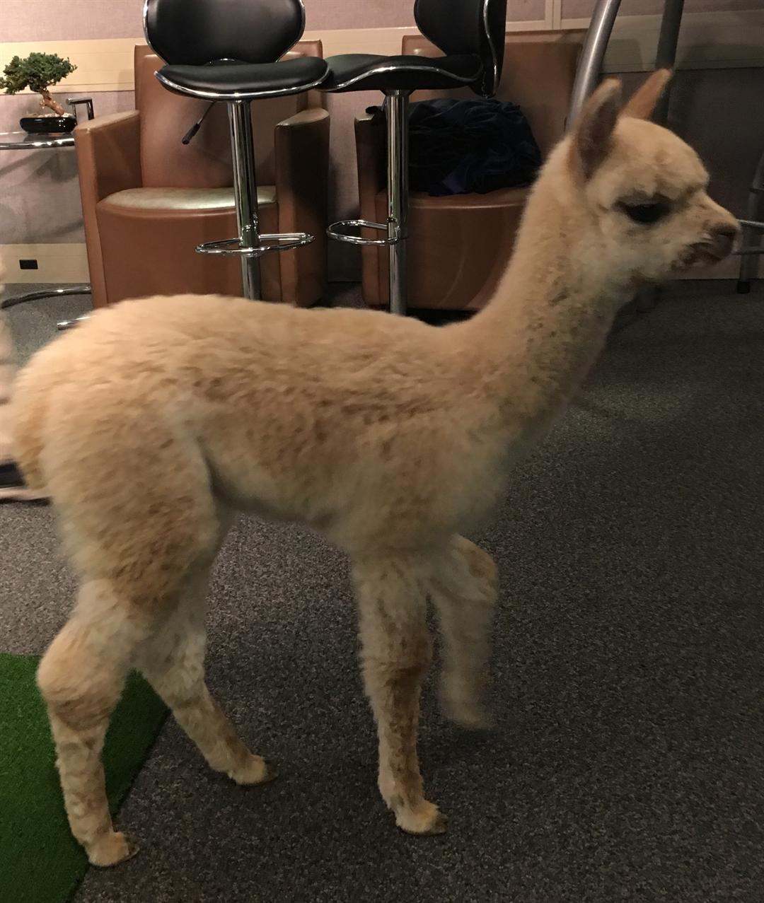2 week old babyalpaca visits GMAZ