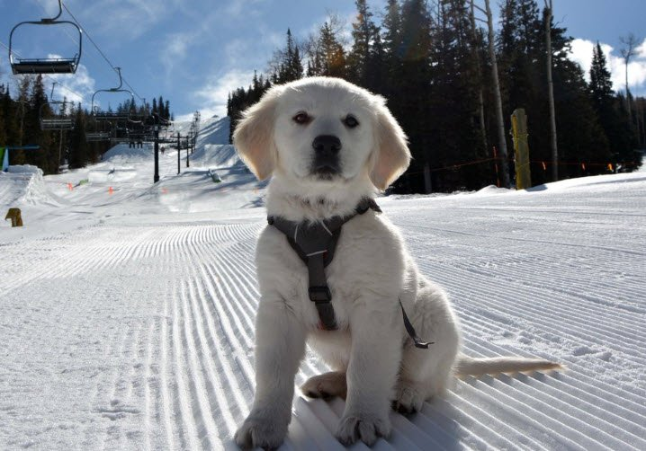 Ava, avalanche dog-in-training (Source: Twitter)