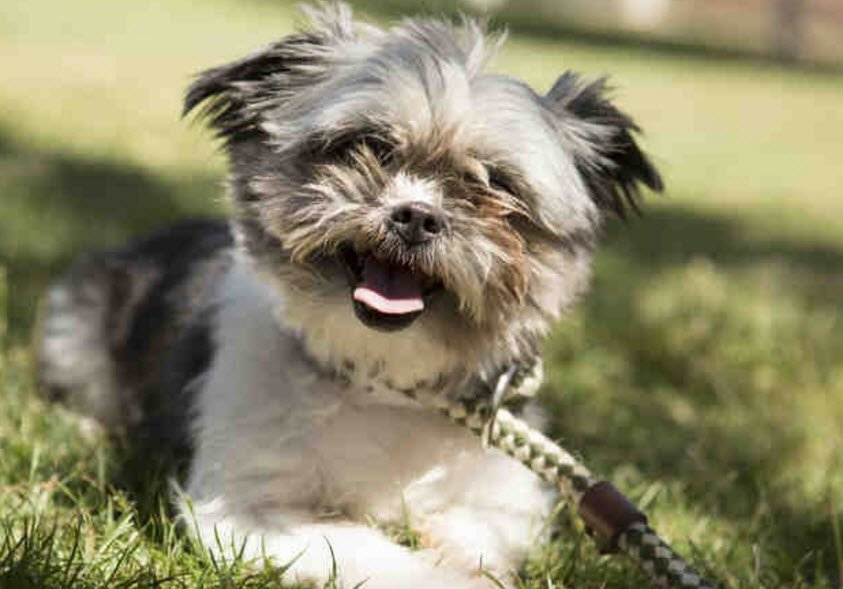 Aurra, a 2-year-old Shih-Tzu, was seized by Phoenix police after being left in a hot car. (Source: Arizona Humane Society)
