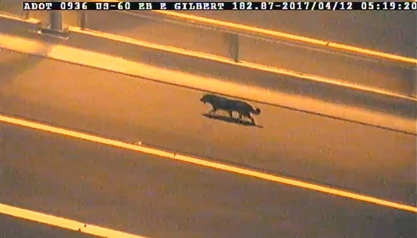 A stray dog forced DPS troopers to stop westbound traffic on the US 60 at Gilbert Road in Mesa on Wednesday morning. (Source: ADOT)