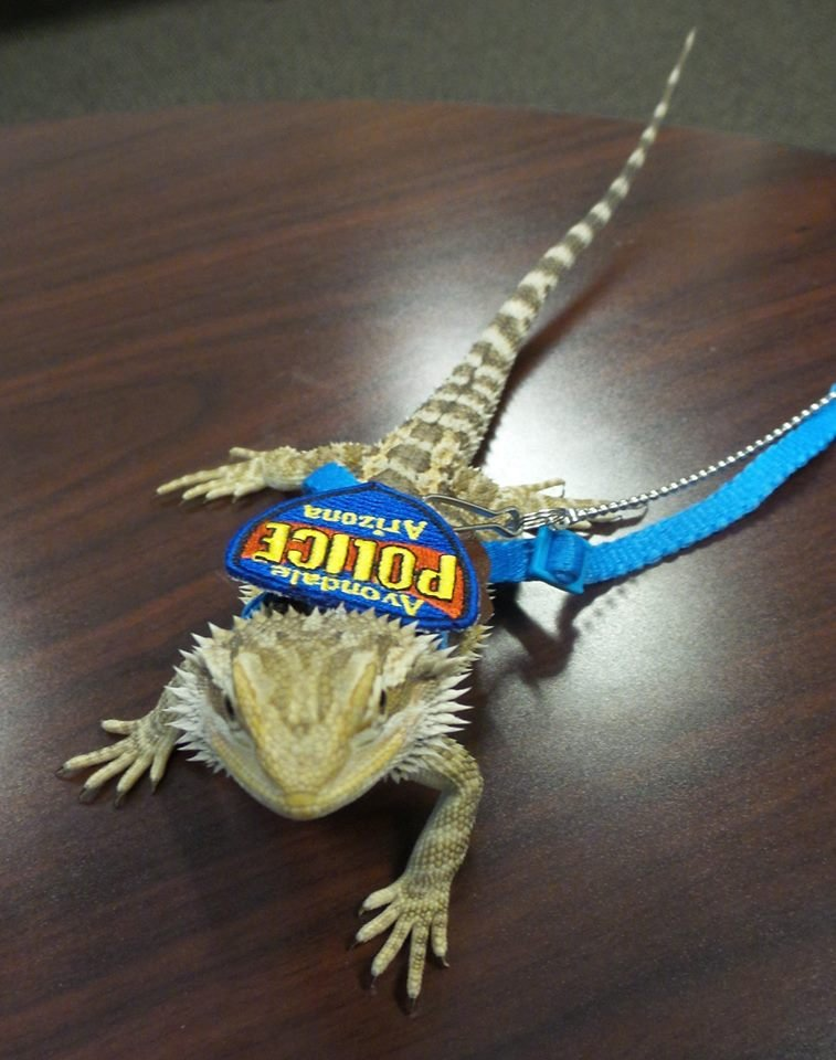 Avondale first introduced Iroh as its drug-sniffing bearded dragon last April. (Source: Avondale Police Department via Facebook)