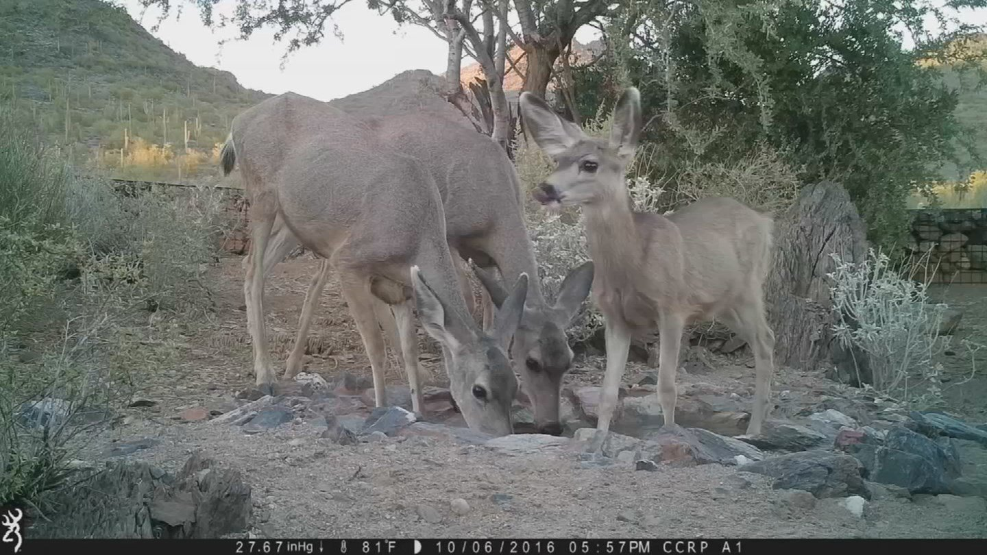 A family of mule deer stop to take a drink at a watering hole at Cave Creek Regional Park. (Source: Maricopa County)
