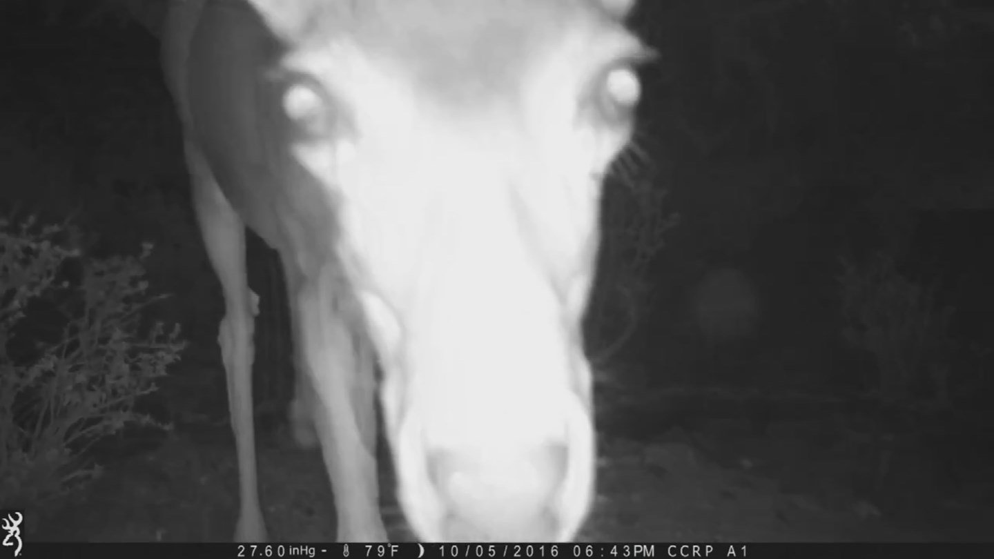 A mule deer 'takes a selfie' with a game camera at Cave Creek Regional Park. (Source: Maricopa County)