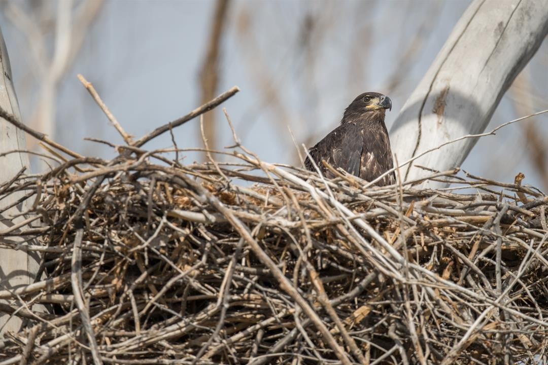 Juvenile bald eagle at about 10 weeks old. Bald eagles don't get their famous white head and tail until they reach five years old. (Source: Salt River Project)