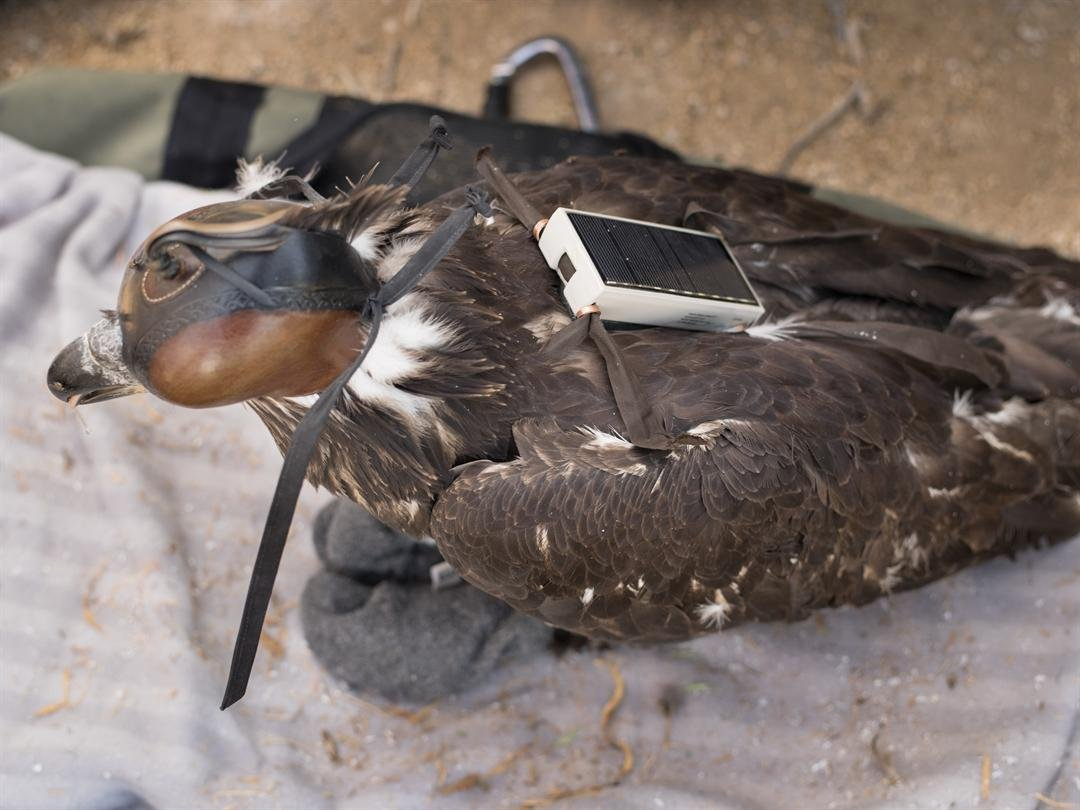 SRP tags eagles with cellular GPS units (Source: Salt River Project)