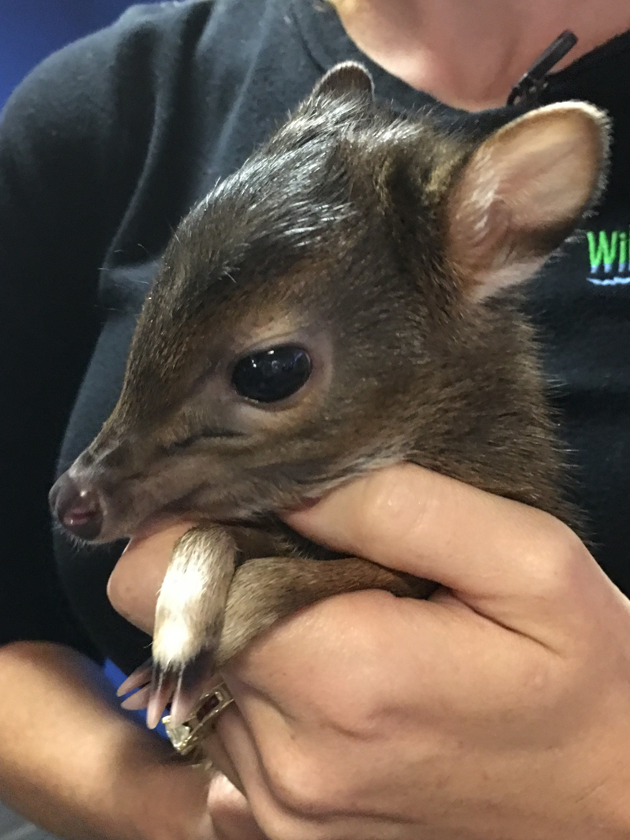 Baby African Blue Duiker visits GMAZ
