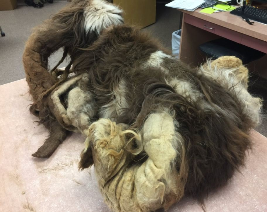 "A matted coat on ""Lillie"" the dog, rescued from a Gilbert home Monday.  24 April 2017"