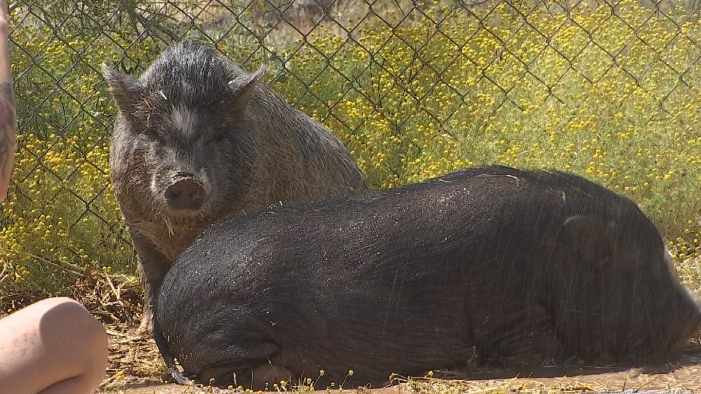"""""""Micro pigs"""" are the biggest pet fad right now but some customers say their animals are getting much larger than they expected. (Source: 3TV/CBS 5)"""
