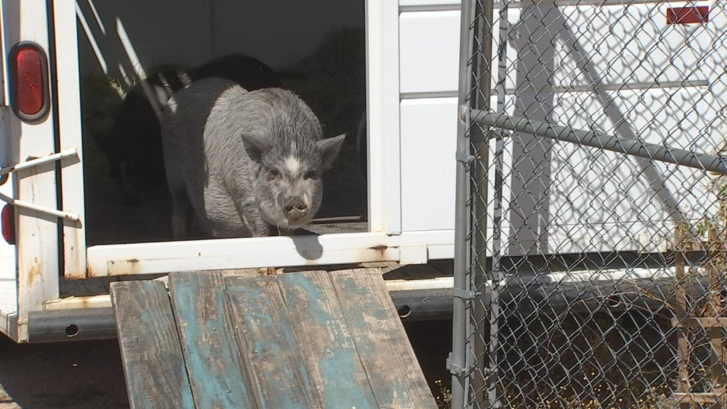 Love-blind pig parents spend thousands of dollars to take one of the pint-sized porkers home. (Source: 3TV/CBS 5)