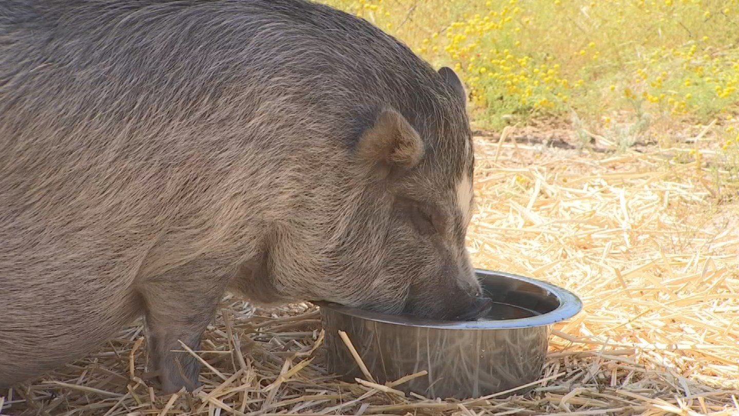 Pigs don't usually stop growing until they're two or three years old.(Source: 3TV/CBS 5)