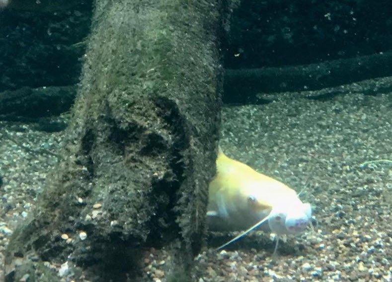Catfish sucks on a pacifier (Source: Facebook)
