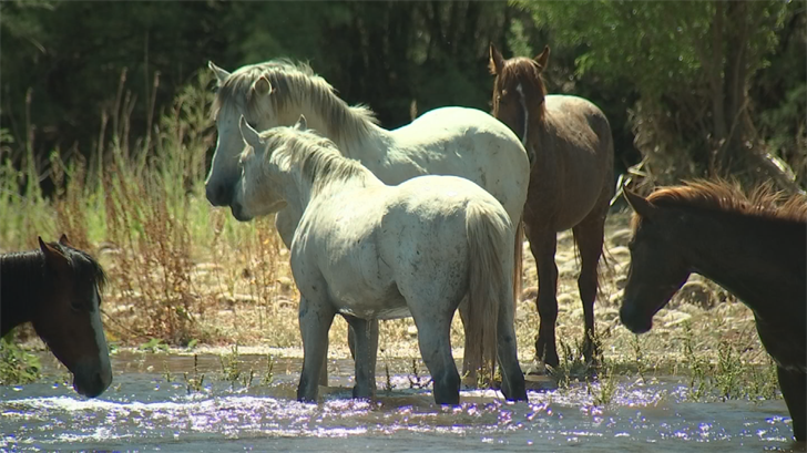 Along with the beautiful desert landscape, some tubers saw wild Salt River horses soaking up the spring sun. (Source: 3TV/CBS 5)