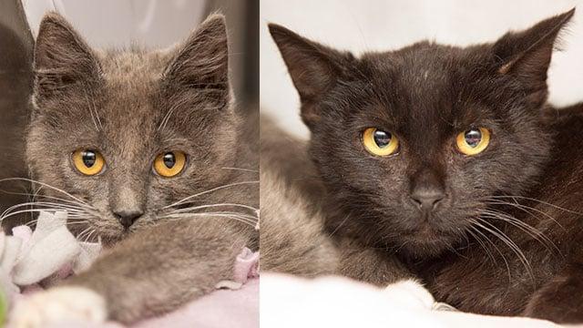 Loki (left) and Shadow (Source: Arizona Humane Society)
