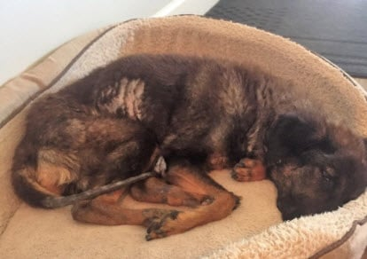 Many animals like Star need foster care (Source: MCACC)