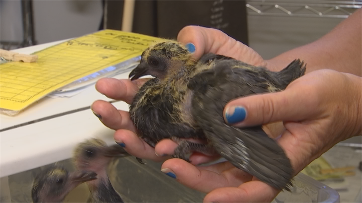 Arizona Game and Fish Department and local bird rehabilitation center Liberty Wildlife say a disease called trichomoniasis is spreading around the bird population. (Source: 3TV/CBS 5)