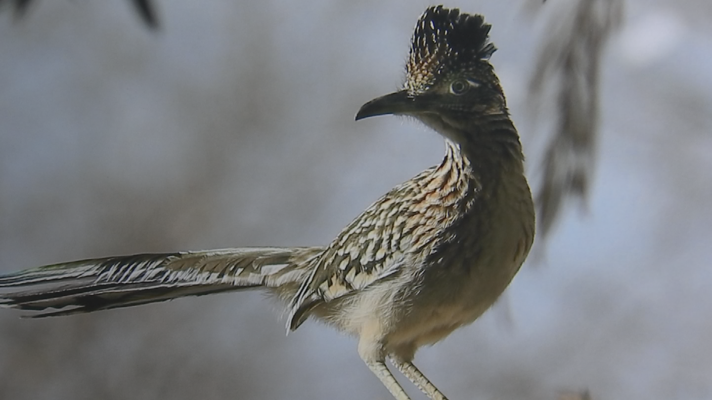 Wickenberg has had no formal training but he just won a Blue Ribbon for a picture of a roadrunner. (Source: 3TV/CBS 5)