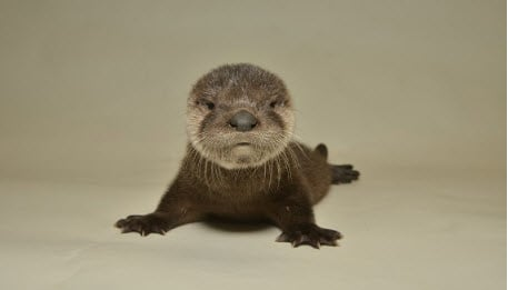 The baby otter that was found abandonedin an East Valley canal in April finally has a name. (The Arizona Game and Fish Department)