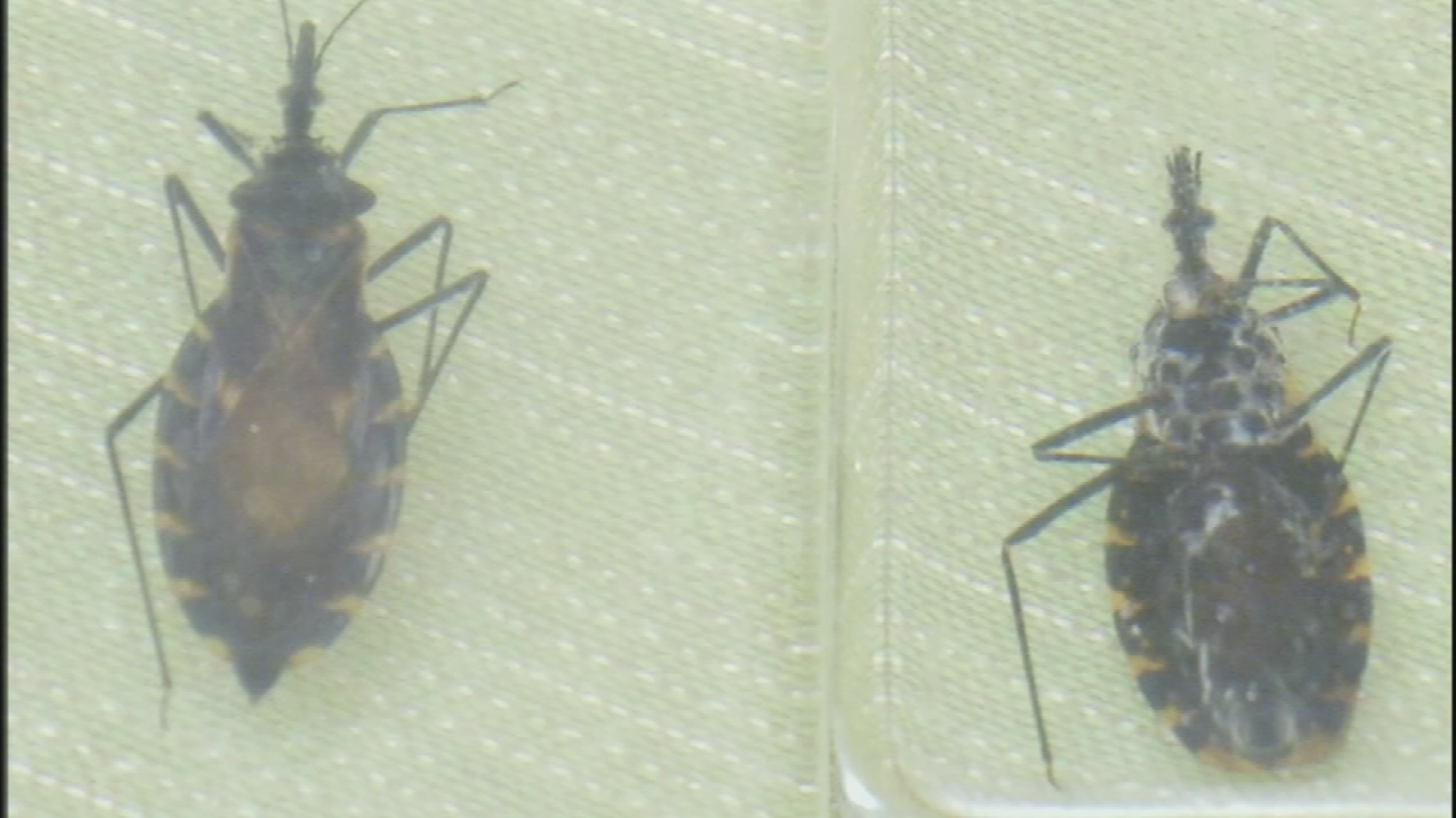 While it may look harmless, these bugs, found frequently around Arizona, are known to spread Chagas disease. (Source: 3TV/CBS 5)