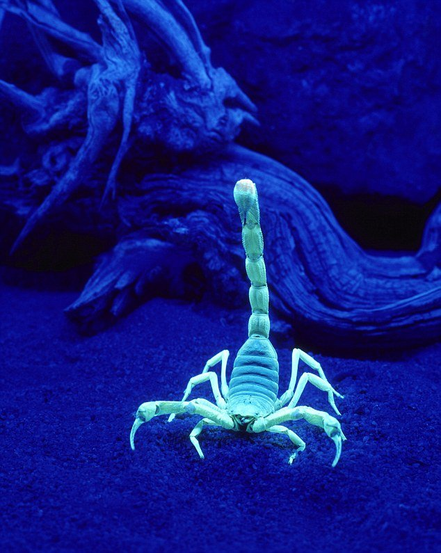 A black light makes scorpions easier to see at night. (Source: 3TV/CBS 5 News)