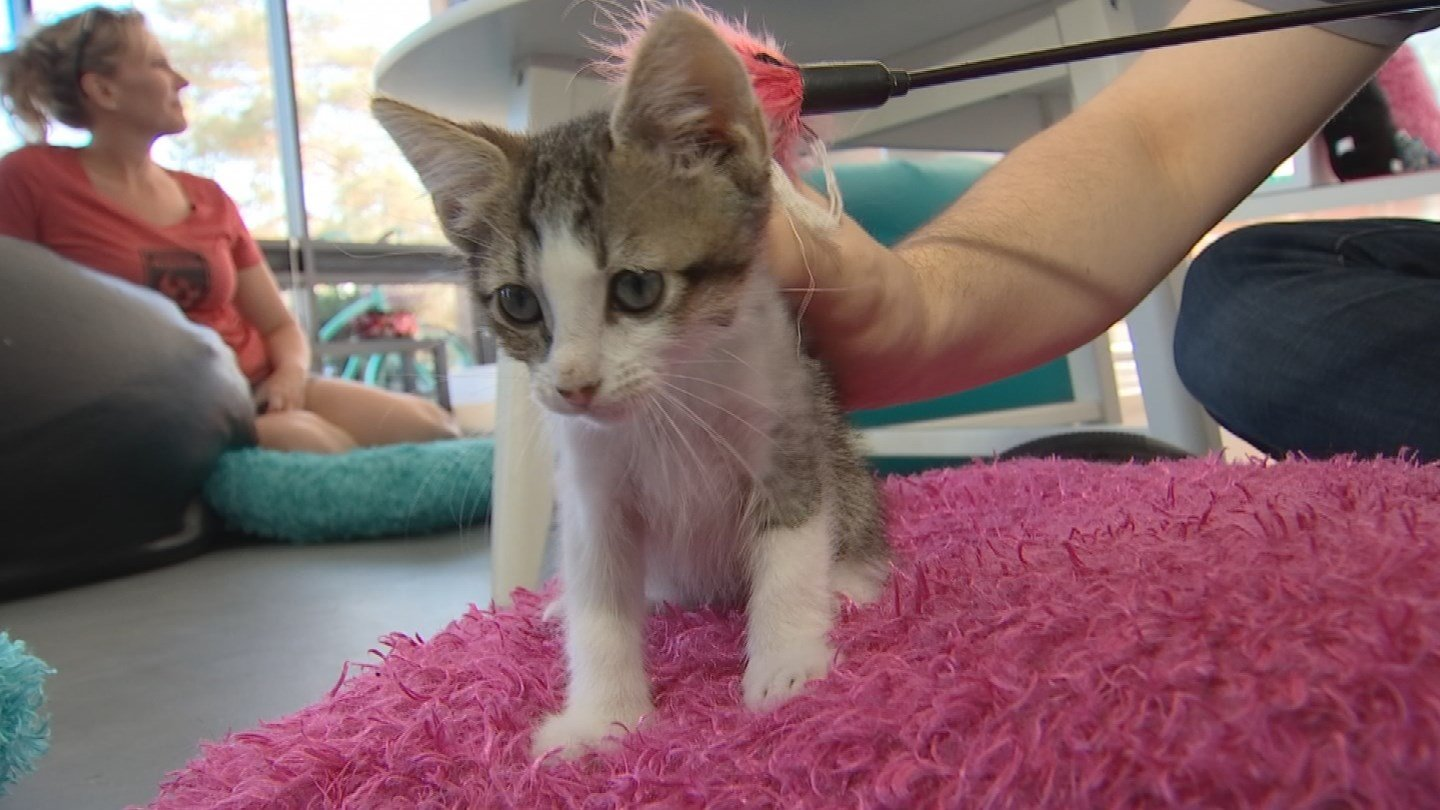 The owner of La Gattara Cat Café in Tempe says she found the mail slot on the cafe door propped open and spotted a kitten outside the enclosed play area. (Source: 3TV/CBS 5)