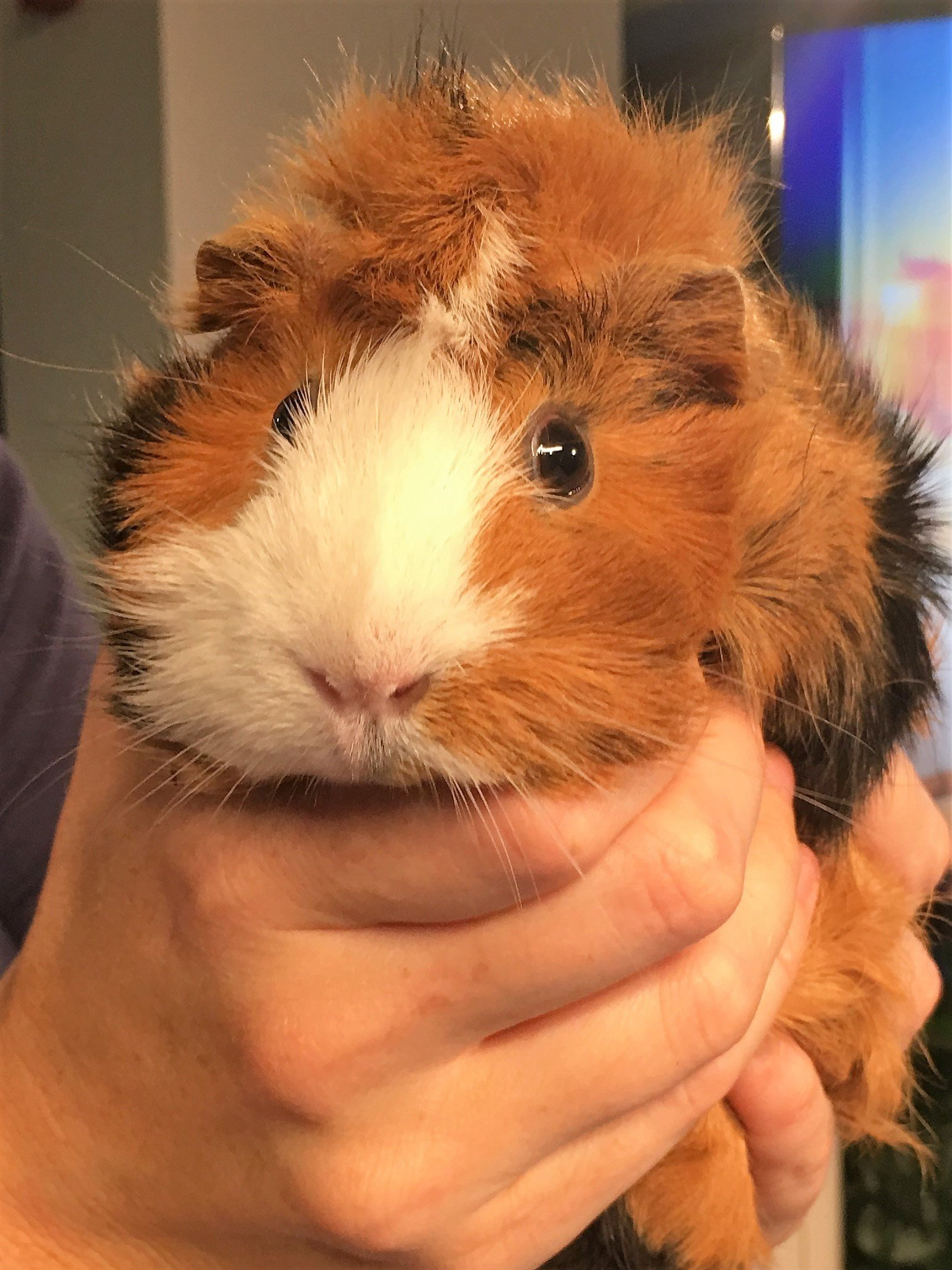 Squeaky the Guinea Pig visits GMAZ