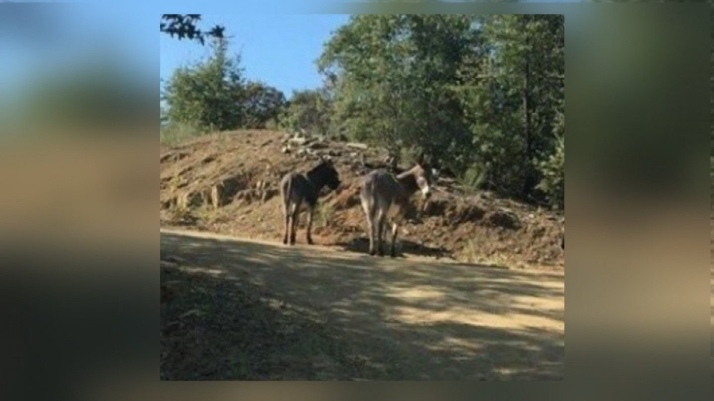 Diego and Daisy, the burros the Deputy has taken care of in Mayer during the Goodwin Fire. (Source: 3TV/CBS 5)