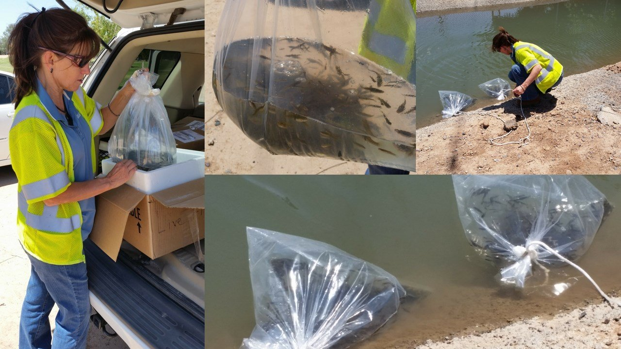 """SRP is preparing for the final stocking of the """"mosquito fish."""" (Source: SRP)"""