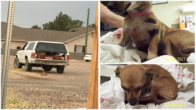 A dog survives being dragged for 1/2 mile behind a truck in Cottonwood.  (8 July 2017) [Source: Cottonwood Police Dept.]