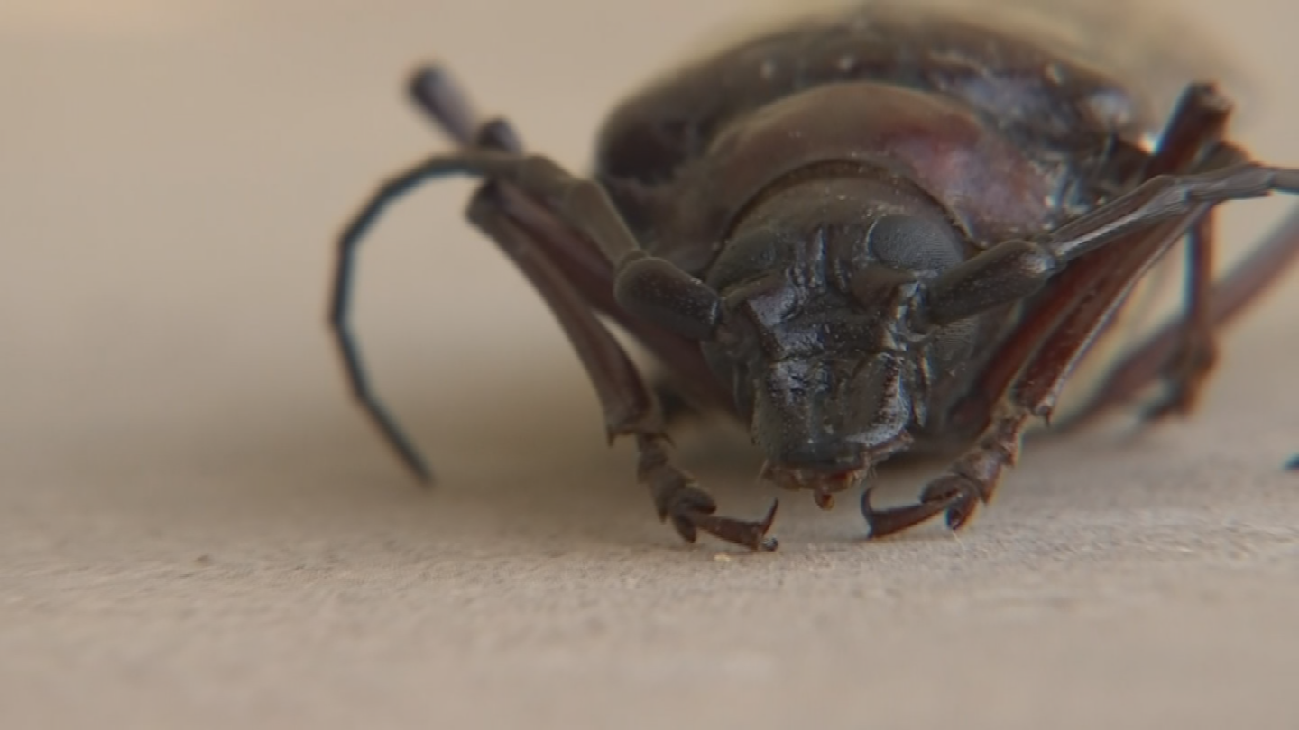 The Palo Verde Beetle is several inches long, can flyand is the source of a lot of terrified shrieks. (Source: 3TV/CBS 5)